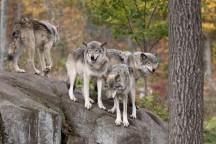 Séminaire insolite : des managers confrontés à des loups