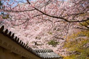 Cherry blossom on traditional japanese garden